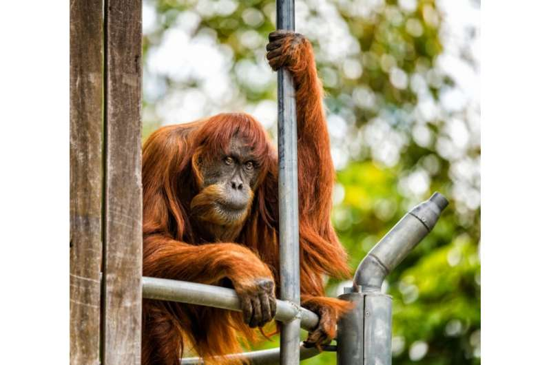 """Puan—Indonesian for """"lady""""—died on Monday at Perth Zoo, where she had lived since being gifted by Malaysia in 1968"""