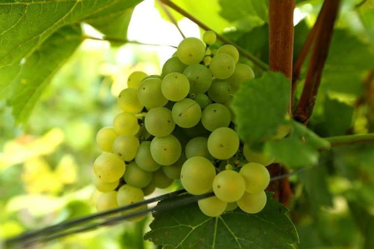 """""""Thirty years ago, it was impossible to ripen the Chardonnay grapes,"""" Foss said. """"But now there's no problem&quot"""