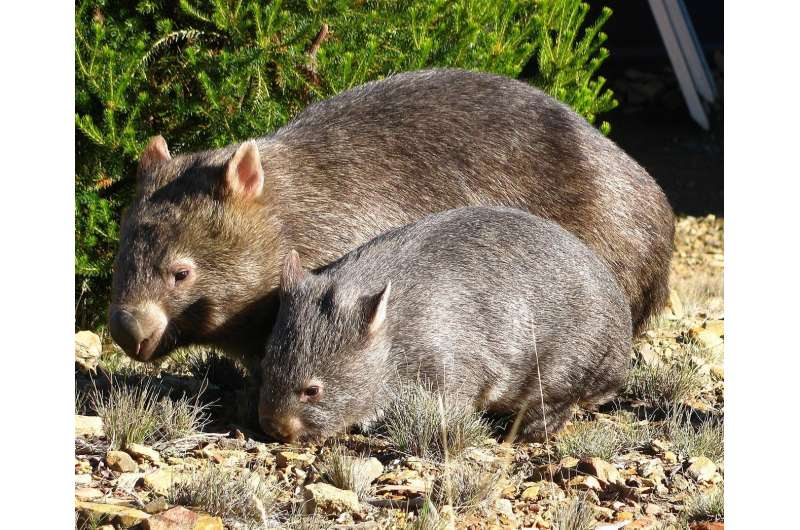 QUT joins fight to save wombats
