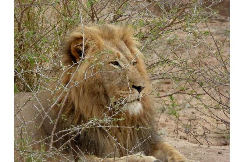 Recovering population of Zimbabwean African lions show low genetic diversity