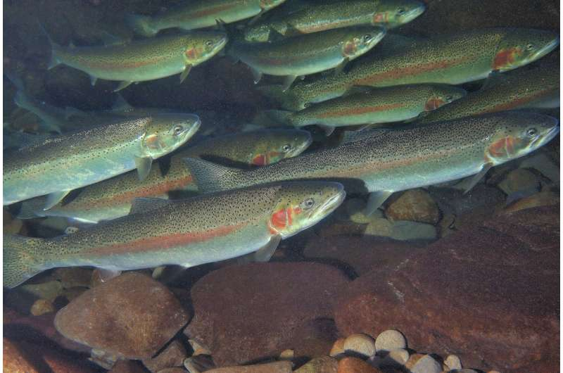 Repeat spawning comes with tradeoffs for trout
