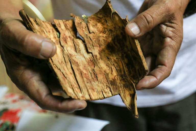 Researcher Roque Rodriguez shows a piece of cinchona bark, which is used in anti-malaria medicine