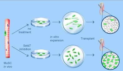 Researchers overcome obstacle for future stem cell therapies