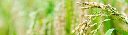 Research sheds new light on improving rice yields