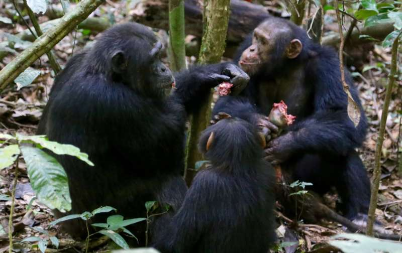Reward of labor in wild chimpanzees