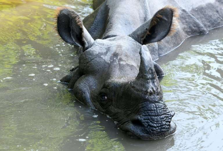Rhino horns are highly coveted in Asia, where they have fetched up to $60,000 per kilogram