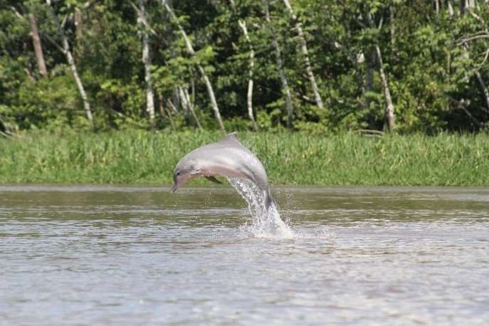 River dolphins are declining steeply in the Amazon basin
