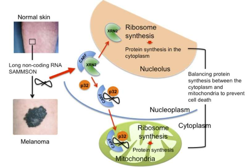 RNA-protein network may explain why melanoma grows more