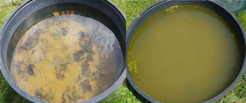 Salt-evolved zooplankton grow too slowly to block salt-induced algal blooms