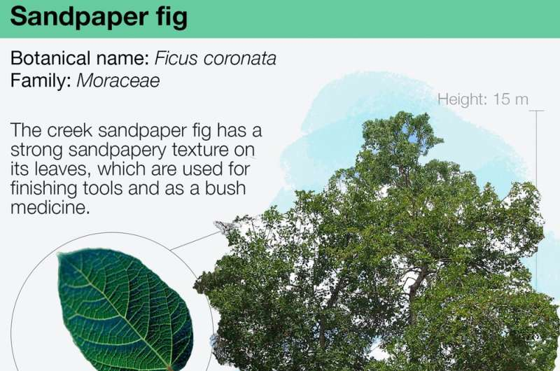 Sandpaper figs make food, fire, medicine and a cosy home for wasps