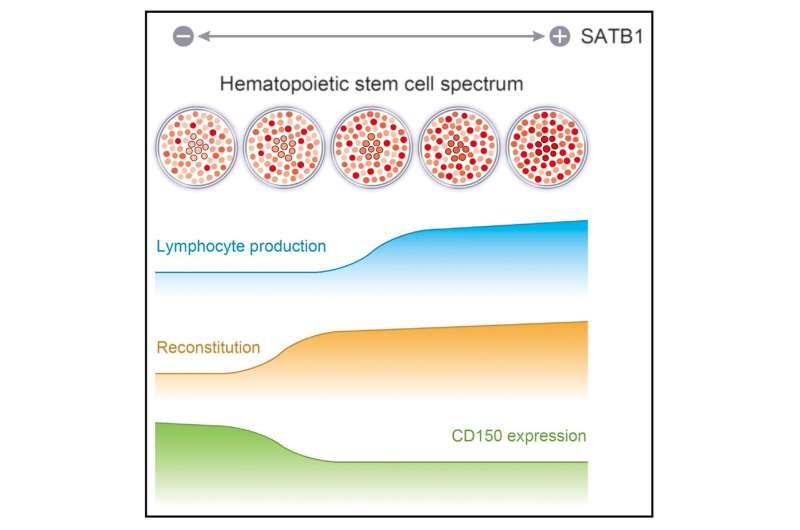SATB1 vital for maintenance of hematopoietic stem cells