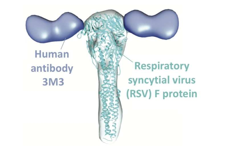 Scientists gain new insight on how antibodies interact with widespread respiratory virus