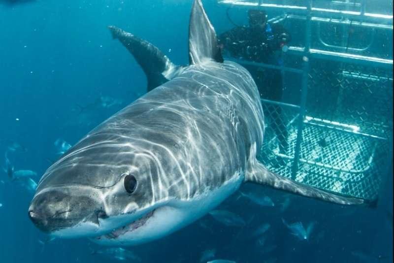 Shark tourism a 'hook' for conservation