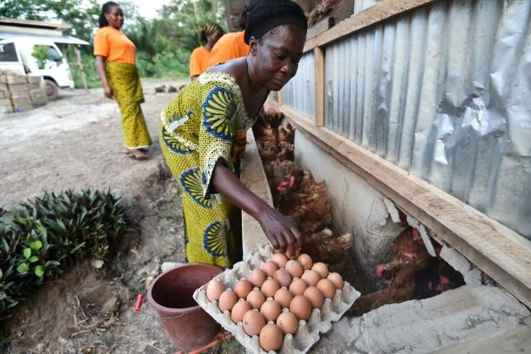 Shell business: A producer at the CAYAT cooperative gathers eggs from a chicken farm financed by money from fair-trade cocoa.