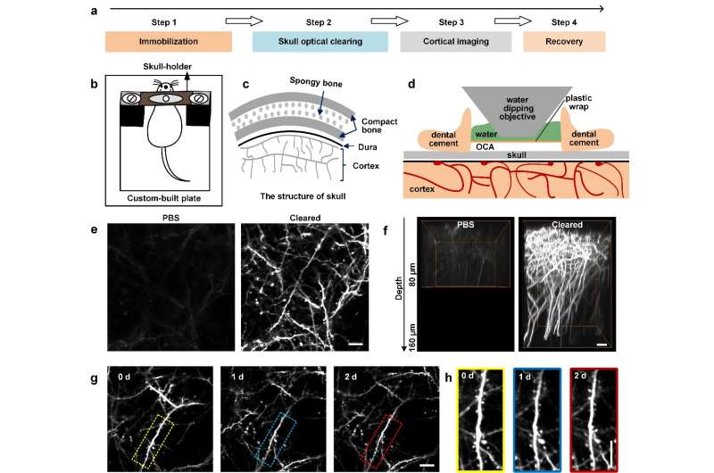 Skull optical clearing window for cortical imaging