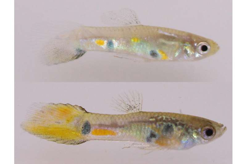 Small-brained female guppies aren't drawn to attractive males