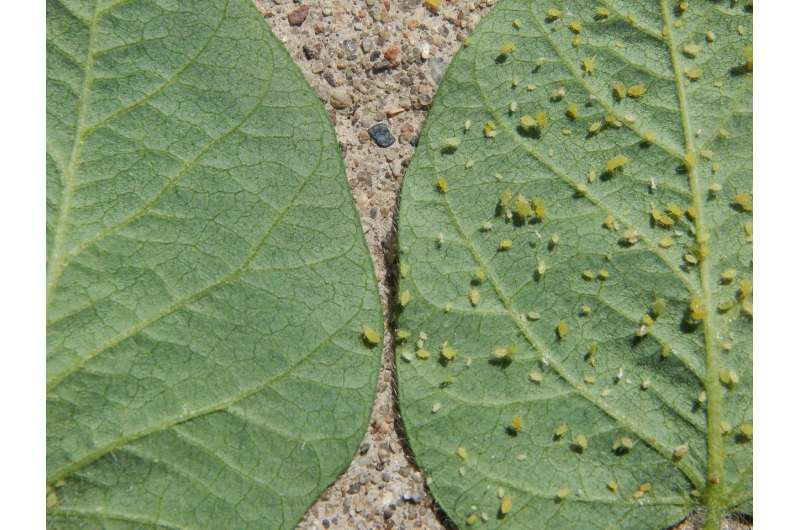 Soy natural: Genetic resistance against aphids