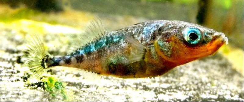 Sticklebacks infected with parasites influence behavior of healthy fish