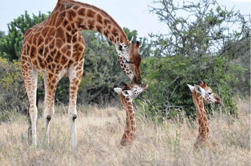 Study investigates impact of lions living alongside giraffe populations