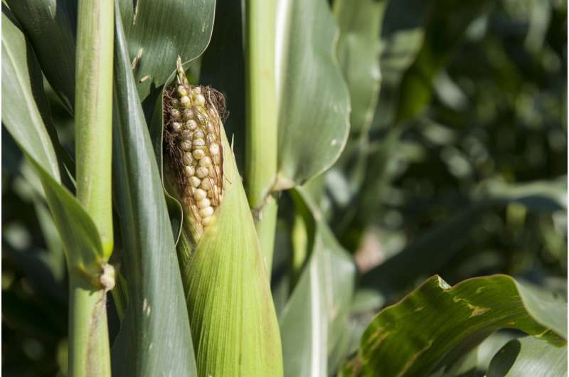 Sweet route to greater yields