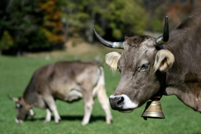 Switzerland has used the image of the horned cow to promote everything from its chocolate to its mountainous landscape