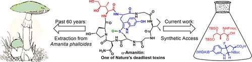 Synthesizing a deadly mushroom toxin
