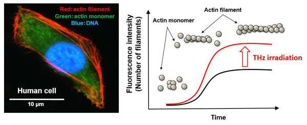 Terahertz wave activates filamentation of actin -A novel possibility of manipulating cellular functions-