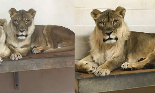 Test reveals why female lion in Oklahoma zoo sprouted a mane