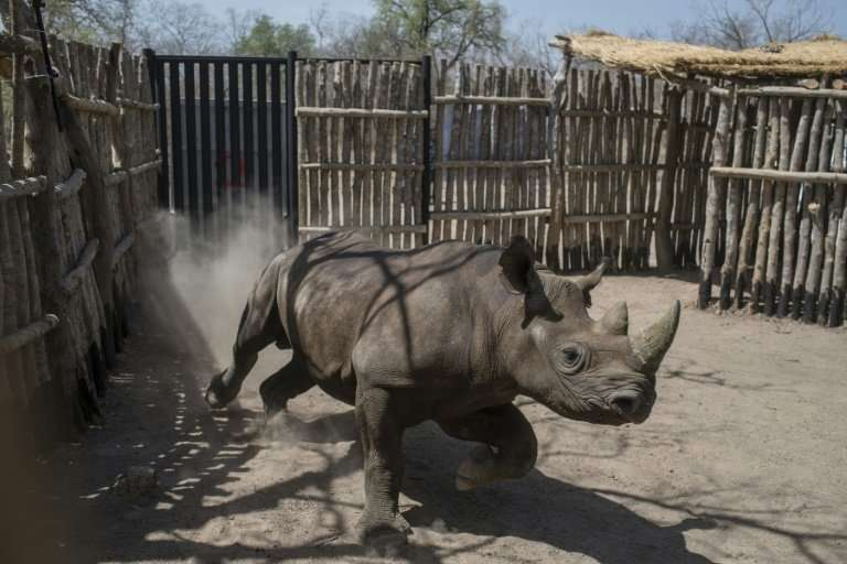 The black rhinos were shipped over to Chad from South Africa as part of an ambitious plan to reintroduce the species there after