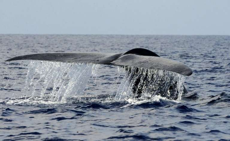 """The blue whale, which can grow up to 30 metres (100 feet) in length, is listed as """"endangered"""" by the International Un"""