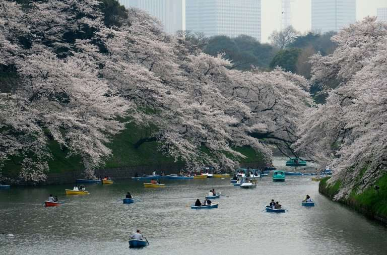 The hugely popular cherry blossom season draws tourists from around the world