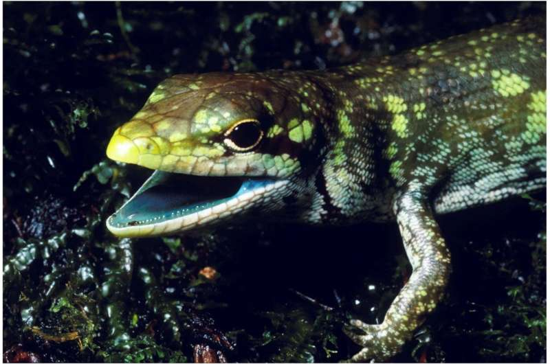 The mystery of lime-green lizard blood