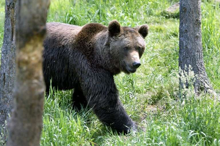 There are about 40 brown bears roaming the Pyrenees mountains in southern France, after being hunted close to extinction by the