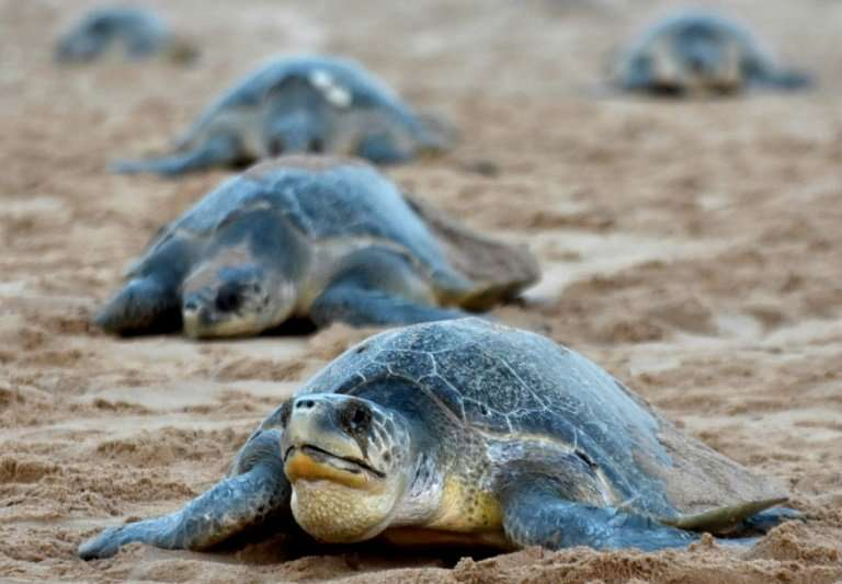 There was a time when two million turtles would emerge from the sea at Odisha for the mass nesting phenomenon but their numbers