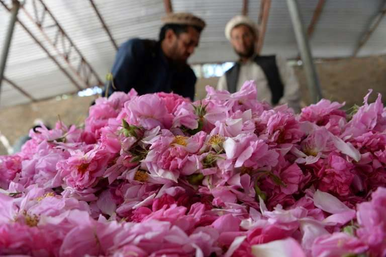 The rose petals grown in Nangarhar province are turned into rose water and oils for sale around the world