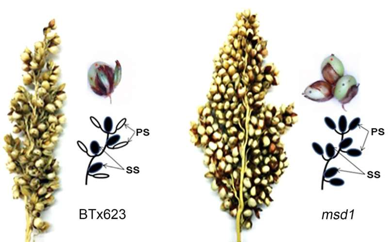 The secret to tripling the number of grains in sorghum and perhaps other staple crops