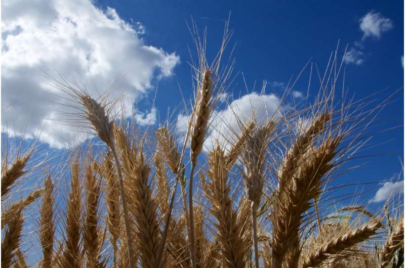 The wheat code is finally cracked