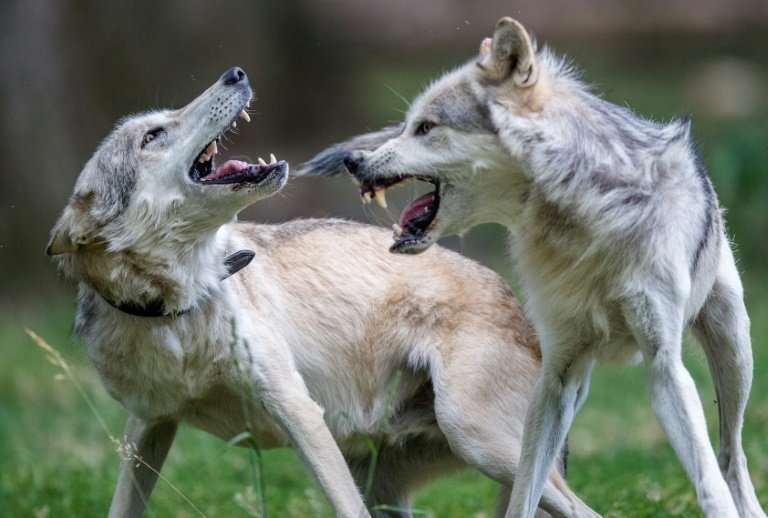 The wolf population is rising rapidly in many European countries.