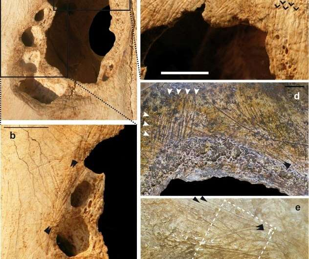 This picture shows cut marks in a cow skull (a, b, c) and in a human skull (d, e) from the Neolithic period suggesting that the