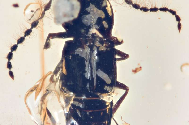 Tiny beetle trapped in amber might show how landmasses shifted