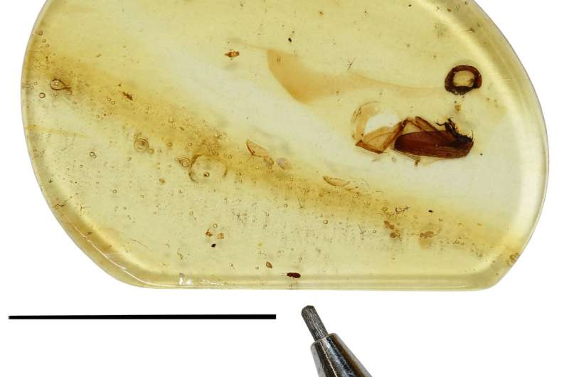 Tiny paragliding beetle that lived with dinosaurs discovered in amber, named 'Jason'