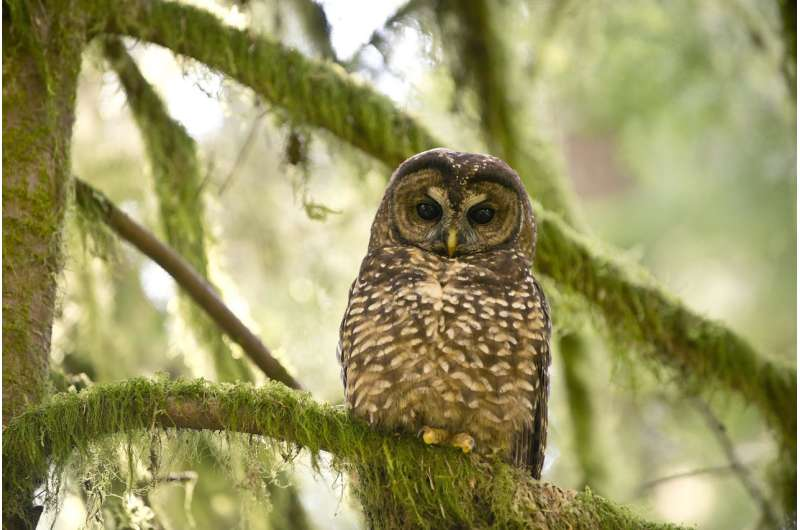 To help save northern spotted owls, we need to prevent kissing cousins