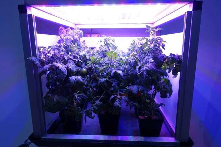 Tomatoes grow in an LED-lighted box, similar to what astronauts use to grow lettuce on the International Space Station, at Fairc