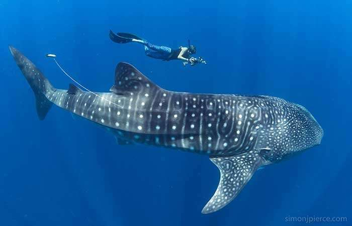To save whale sharks, first we track their young