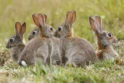 Towards winning the war on feral wild rabbits