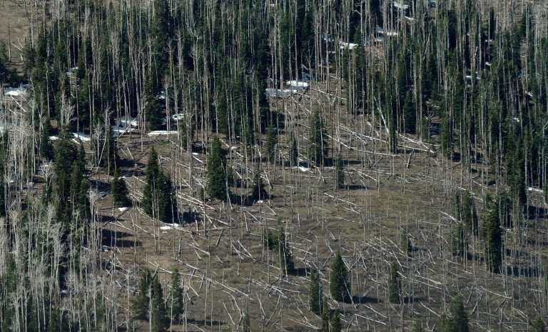 Trees killed by the mountain pine beetle at a park in Utah