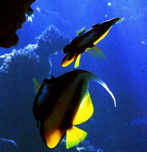 Tropical fish are particularly vulnerable to climate change which is likely to force them to leave their homes to establish new