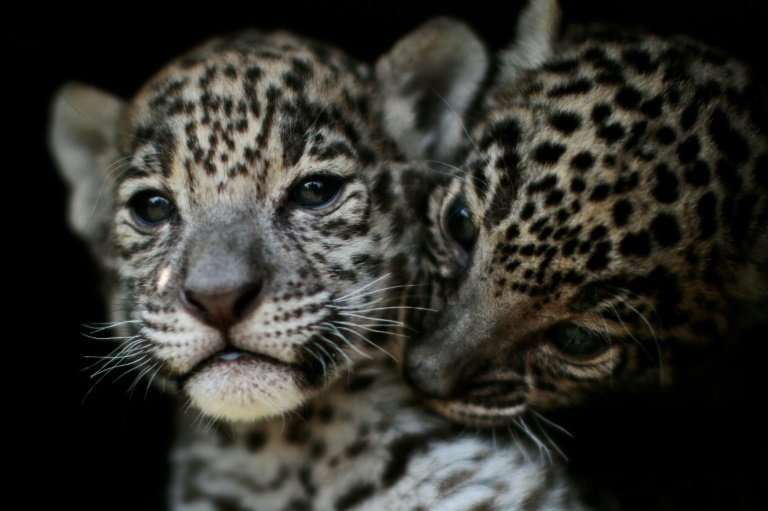 """Two jaguar cubs are pictured at the """"Reino Animal"""" zoo in Teotihuacan, Mexico state, on April 27, 2018; the country's"""