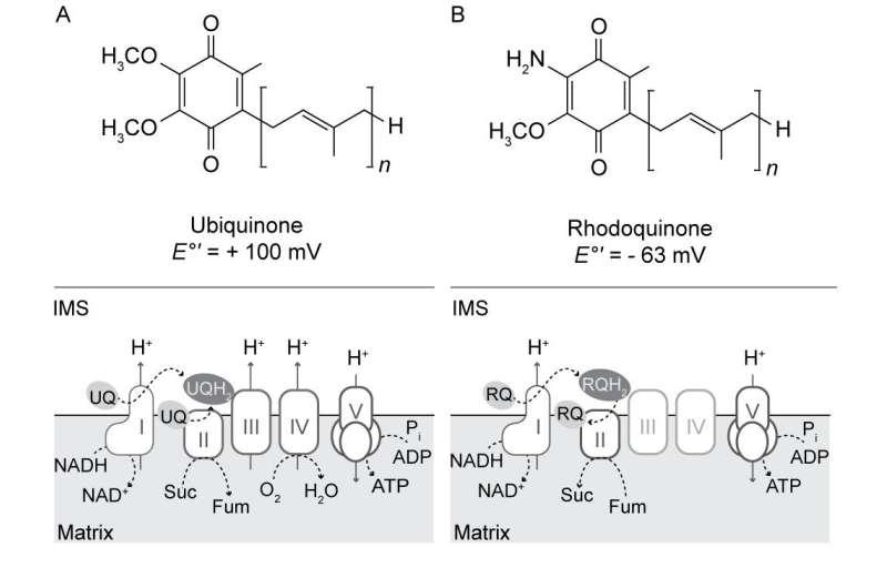 Ubiquinone and Rhodoquinone