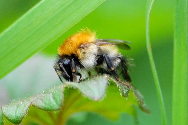 UK bumblebee population trends